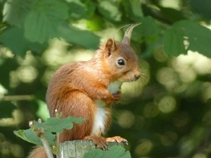 Sedbergh Red Squirrel Group.jpg