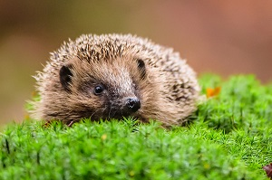 Dentdale hedgehog